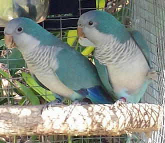 pair of blue quaker parrots